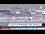 Необычный и одинокий гость. На пляже под Феодосией поселился розовый фламинго. Гуляющую у моря птицу местные жители наблюдают уж