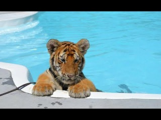 CUTEST Baby Tiger Videos That You Have To See - Cute Baby Animals