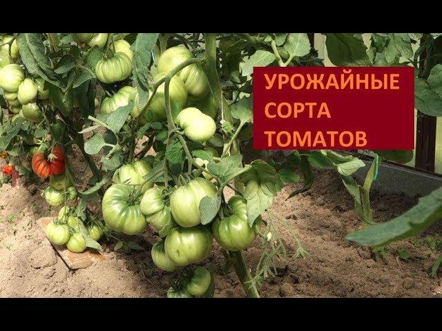 ЛУЧШИЕ УРОЖАЙНЫЕ СОРТА ТОМАТОВ 2017 ОБЗОР ТЕПЛИЦЫ (31.07.2017)