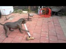 Happy pitbull dog szczęśliwy pies pitbull onnellinen pitbull koira счастливы питбуль собака