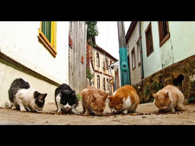 Контроль популяции уличных кошек в Испании Control de la población de Gatos Callejeros - Captura y Esterilización
