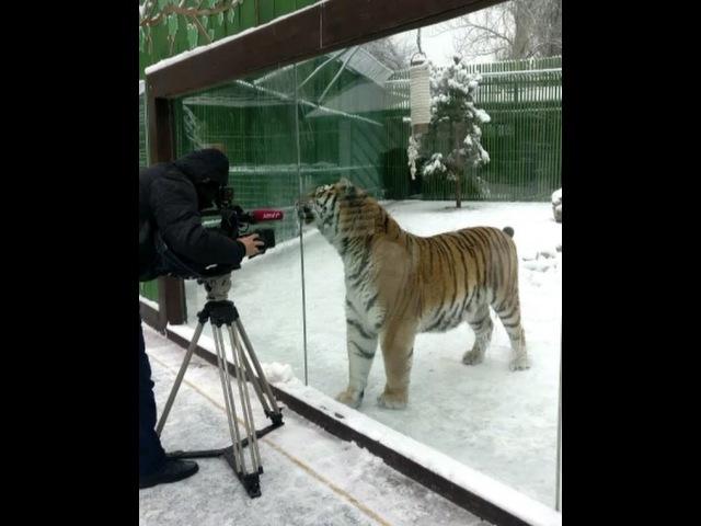 """Yerzhan Yerkinbayev on Instagram: """"Кто сказал, что в зоопарке животные грустные и истощенные Знакомтесь, мой брат - тигр! зоопарк almaty тигр..."""
