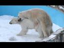円山動物園のララとデナリの交尾[2012.03.20]