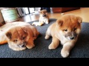 My life is potato Ep 05 Shiba Inu puppies