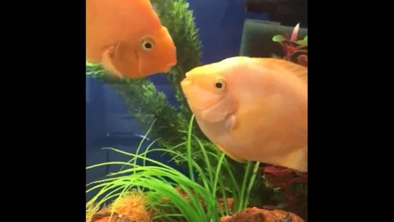 У нас дома даже рыбки целуются❤️🌈😇