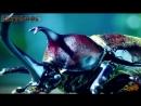 Самые забавные животные Гладиаторский бой жуков