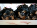 Puppies of yorkshire terrier