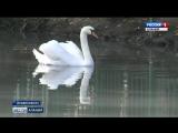 Лебединое семейство в Центральном парке продолжает радовать жителей и гостей Владикавказа