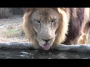 Lion Drinking Water *Slow Motion