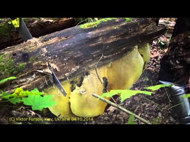 Дикое Гнездо Медоносных Пчел Нашли В Лесу!