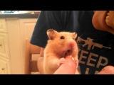 Hamster attack!