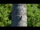 Цикада обыкновенная в Абхазии. г. Гагра