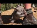 Австралийская собачка