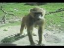 обезьяна показывает попу