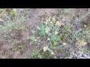Безсмертник.(Кошачьи лапки). Лекарственные травы.