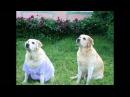 Памяти Рокси нашей любимой собаки лабрадора