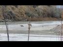 Койот и американский барсук (Badger and coyote hunting partners)