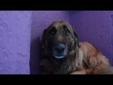 С собакой плохо обращались и она не знает, как реагировать на доброту и ласку((