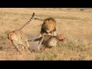 Báo đốm đang ngủ ngon lành bị múc đến chết - Buffalo Lion vs Leopard