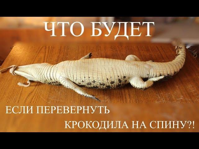 ЧТО БУДЕТ, ЕСЛИ ПЕРЕВЕРНУТЬ КРОКОДИЛА НА СПИНУ?! Зачем закрывать крокодилу глаза?