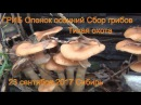 ГРИБ Опенок осенний Поход в лес. Все виды опят 23 сентября 2017 Сибирь Сбор грибов