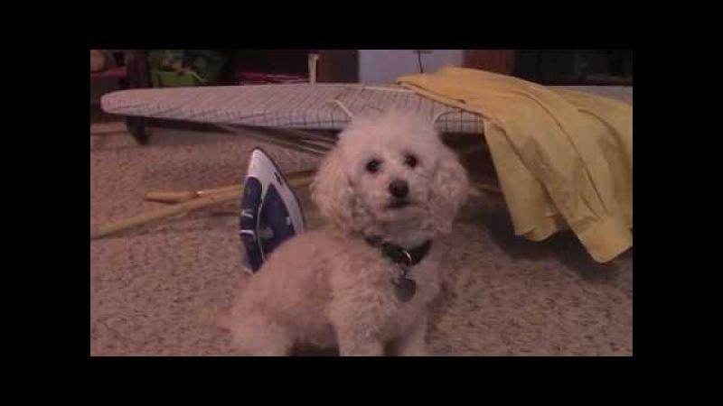 A Very Tricky Dog Toy Poodle