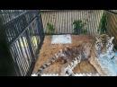 2016 Состояние тигрицы в алматинском зоопарке оценивают как тяжелое 27 04 16