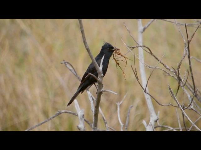 Crested black tyrant / Хохлатый болотный тиранн / Knipolegus lophotes