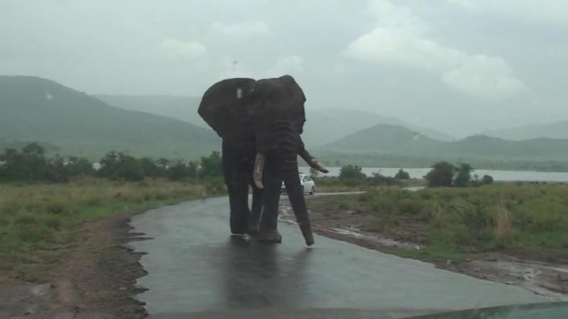 самый высокий слон идет по дороге