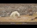Heart Wrenching Video Starving Polar Bear on Iceless Land