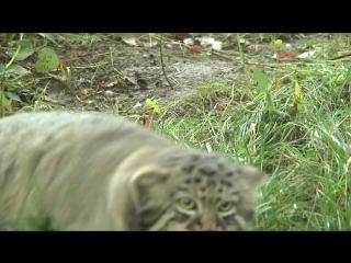 Охота дикого кота манула