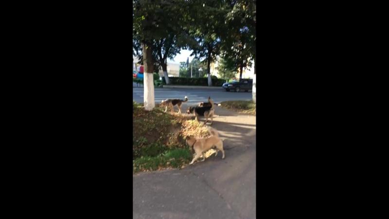 Бродячие собаки в центре города. Мордовия Рузаевка