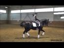 Ахалтекинский жеребец Рами Шаэль, тренировка, выездка/Rami-Shael, training, dressage