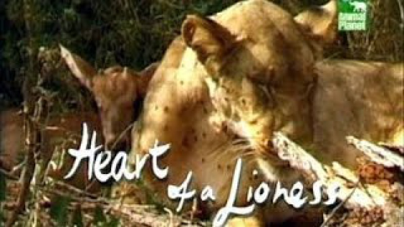 Animal Planet Сердце львицы Heart of a Lioness 2003