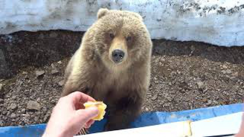 медведица пришла в гости покушать - 8.Камчатка,Россия(bear came to visit out - 8.Kamchatka, Russia)