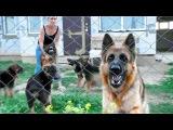 Гера и Афина охраняют щенков. Длинношерстные немецкие овчарки. German Shepherd guard puppies.