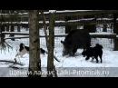 Притравка лайки на кабана лайки кобели - охота с лайками