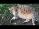 Супер толстый кот вышел погулять