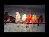 Кенар Ярит! Пение красного Кенара.Canary Singing