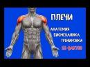 ПЛЕЧИ 10 Фактов Тренировки Биомеханика Анатомия