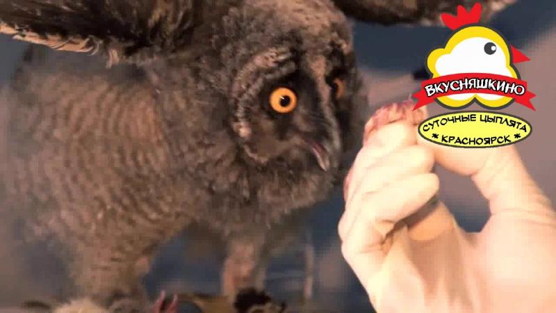 совёнок ест цыпу