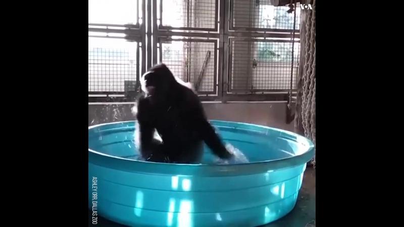 Горилла из зоопарка Далласа принимает ванну