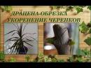 Драцена окаймленная обрезка укоренение черенков
