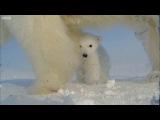 Polar bear helps films her own cub! - Polar Bear Spy On The Ice - BBC Earth