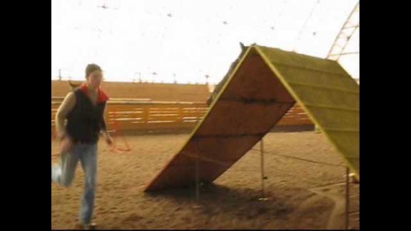 Dutch shepherd Baru- agility training