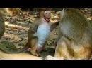 Sweet Pea Monkey Meeting Monkey King 3 Popeye Massage Sweet Pea Baby Monkey