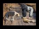 Big gorilla vs Lion vs Sư tử ⇝ EXTREME CRAZY ANIMAL FIGHTS To DEATH