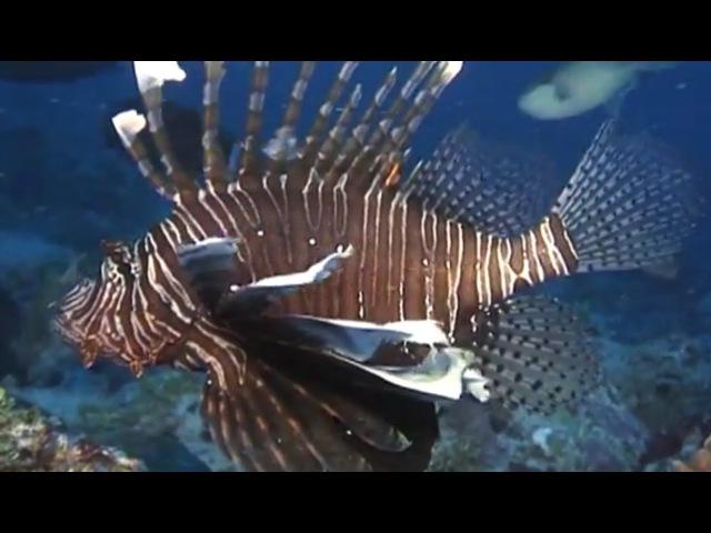 Мир подводной охоты - 372 - Крылатки: полосатая, красная, антенная.