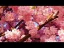 3 5 часа весеннего настроения Цветение нежной сакуры Пение птиц Журчание ручейка