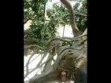 дерево лилипутов